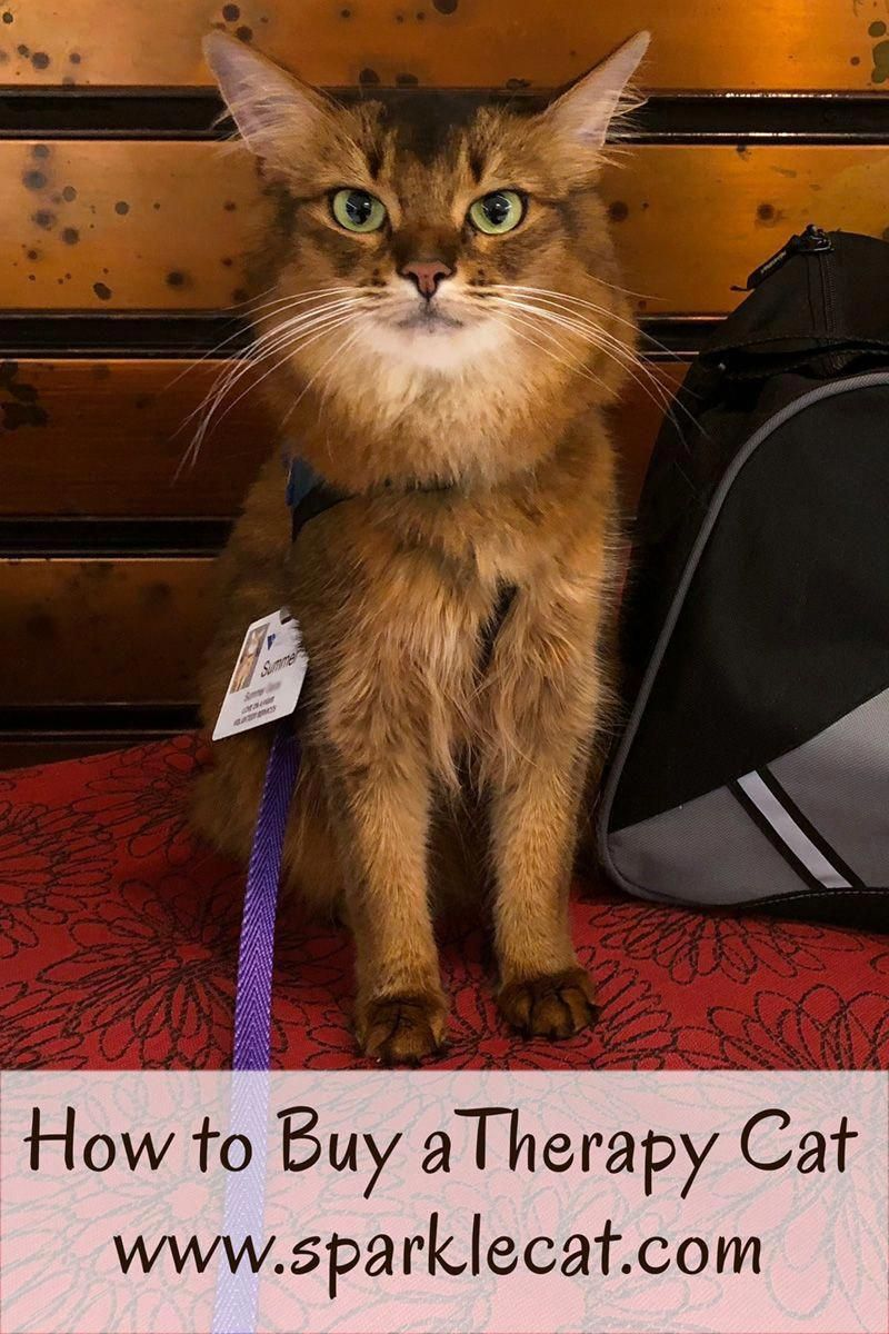If You Want To Know How To Buy A Therapy Cat Chances Are You Are Really Looking For A Comfort Or Emotional Support Animal Here Therapy Cat Buy A Kitten Cats