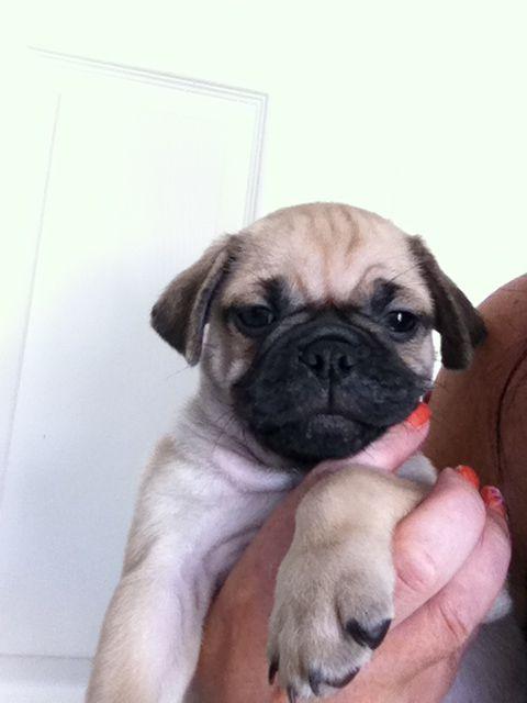 Burt My New Chug Puppy 7 Wks Old Puppies Chugs