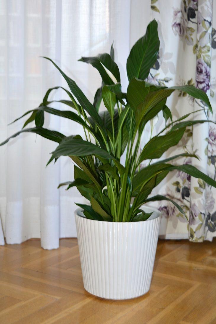 Las aspidistras o pilistras plantas resistentes y for Plantas de interior resistentes