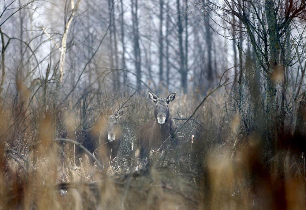 En images: Tchernobyl, 30 ans plus tard, la nature a repris ses droits |  Tchernobyl, Animales, Animaux sauvages
