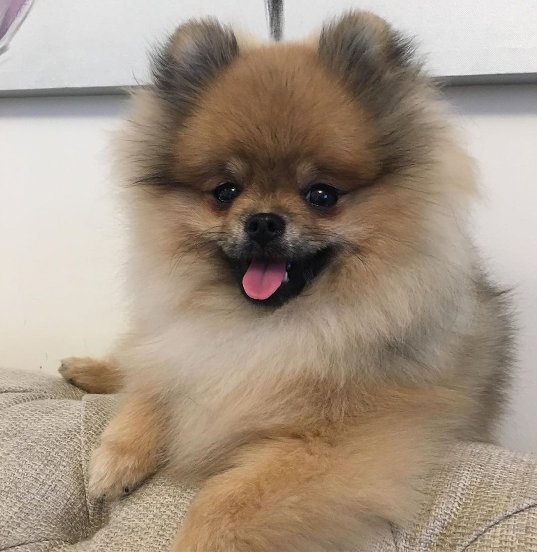 Dog care information for feeding a new puppy pomeranian
