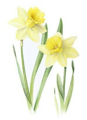 Daffodils Flower Drawing Flower Painting Botanical Drawings
