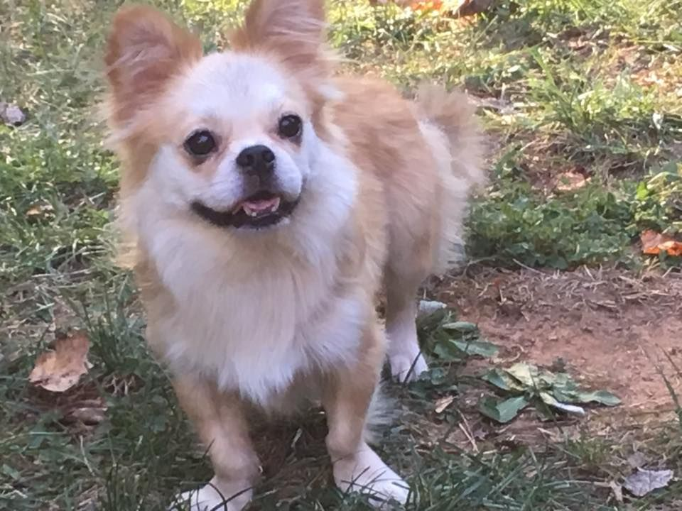 American bullnese dog for adoption in stone mountain ga