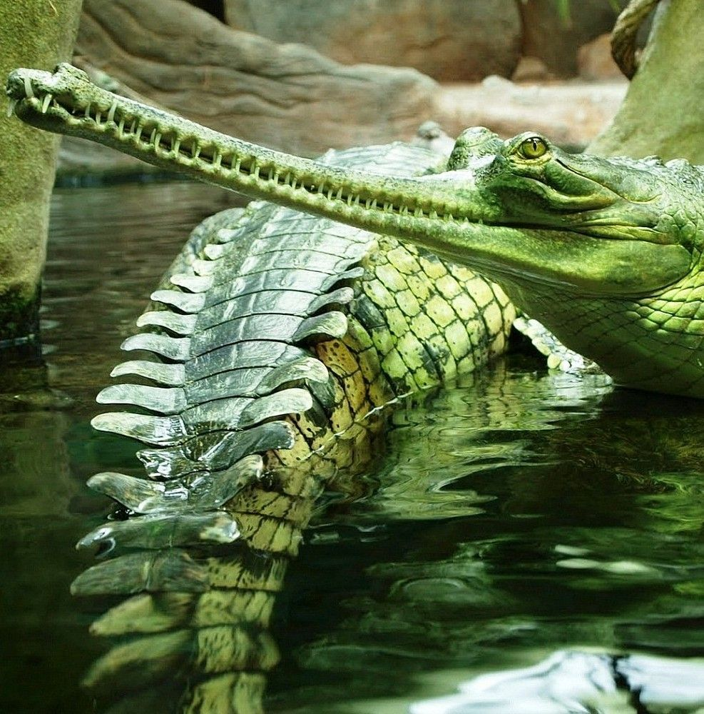 Gharial, the strangest of crocodiles   A.   Pinterest ...  Gharial, the st...