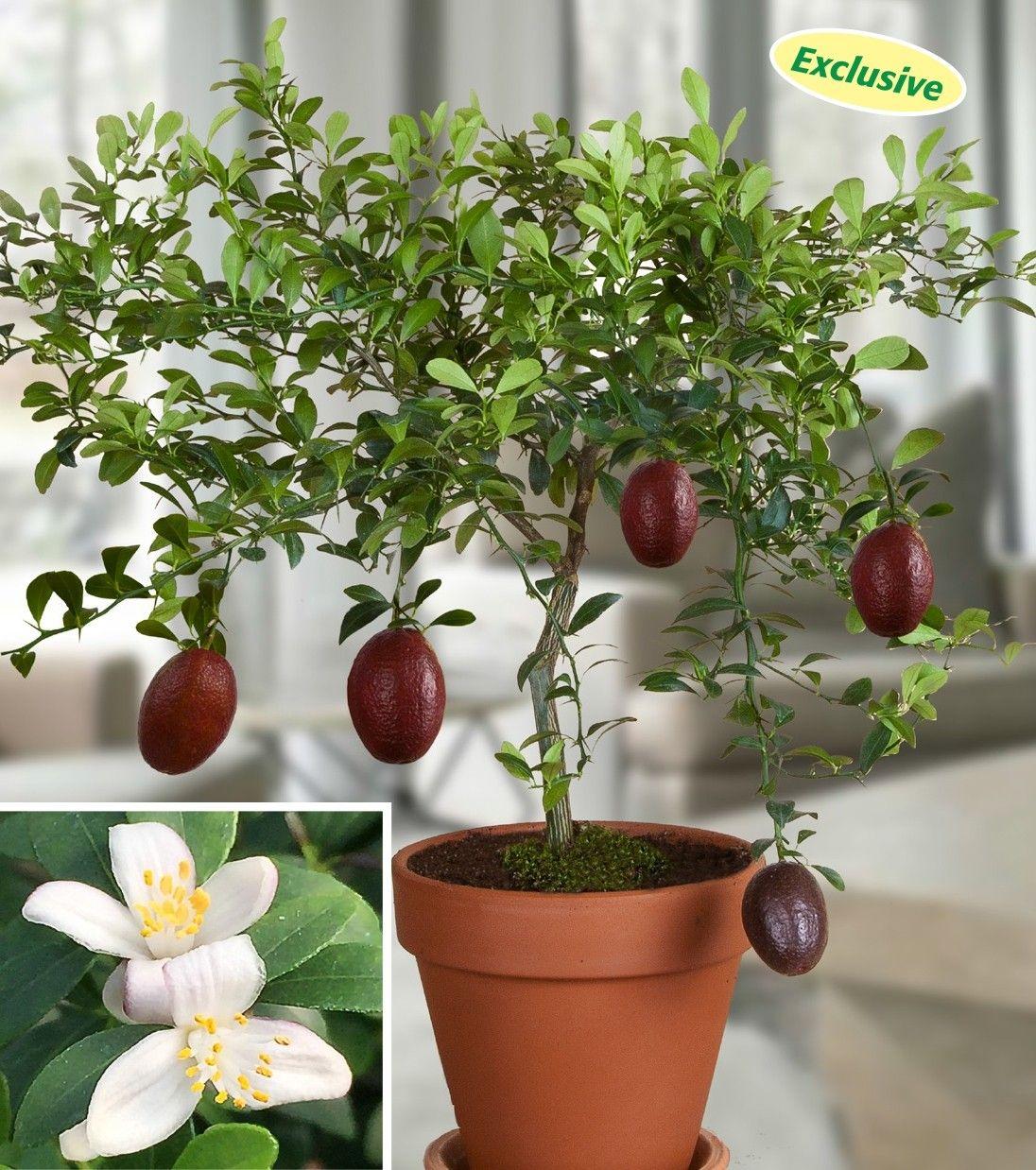 Australian Red Lime Citrus Australasica Hybrid This Rare
