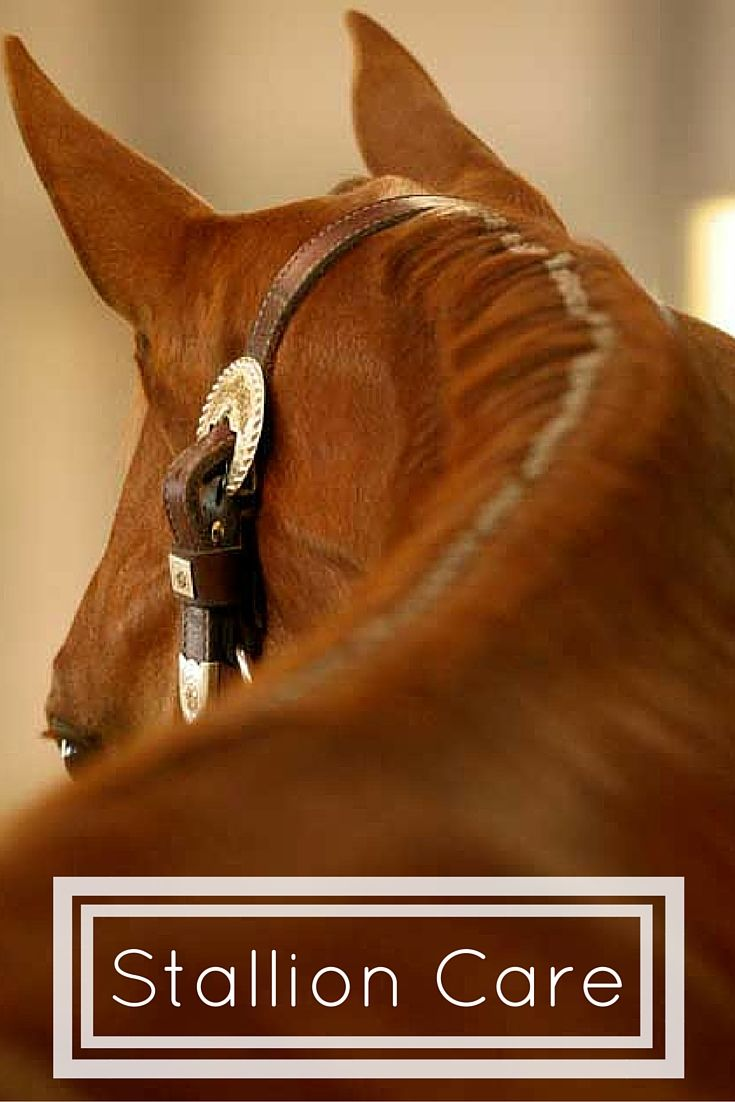 Horse reproductive evaluations can help you identify a stallion's breeding potential and diagnose possible breeding problems. Learn more about reproductive evaluations at America's Horse Daily.