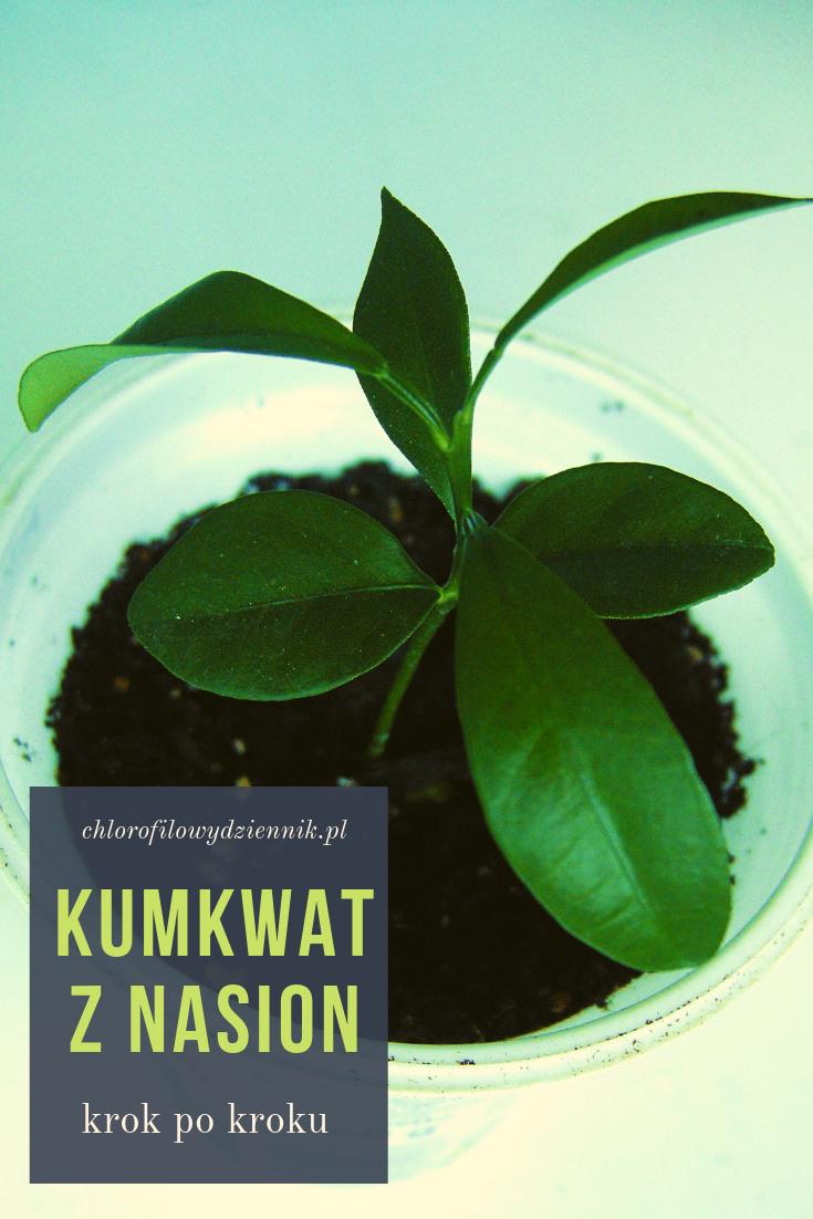 Kumkwat Z Nasion Plant Leaves Plants