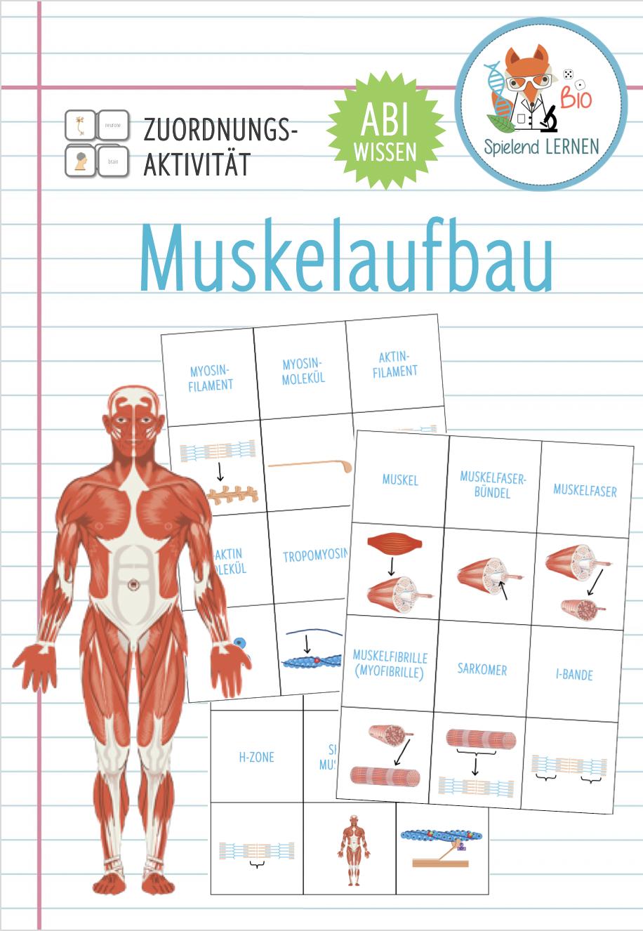 Muskelaufbau – Zuordnungsaktivität / Memory®spiel Abitur ...