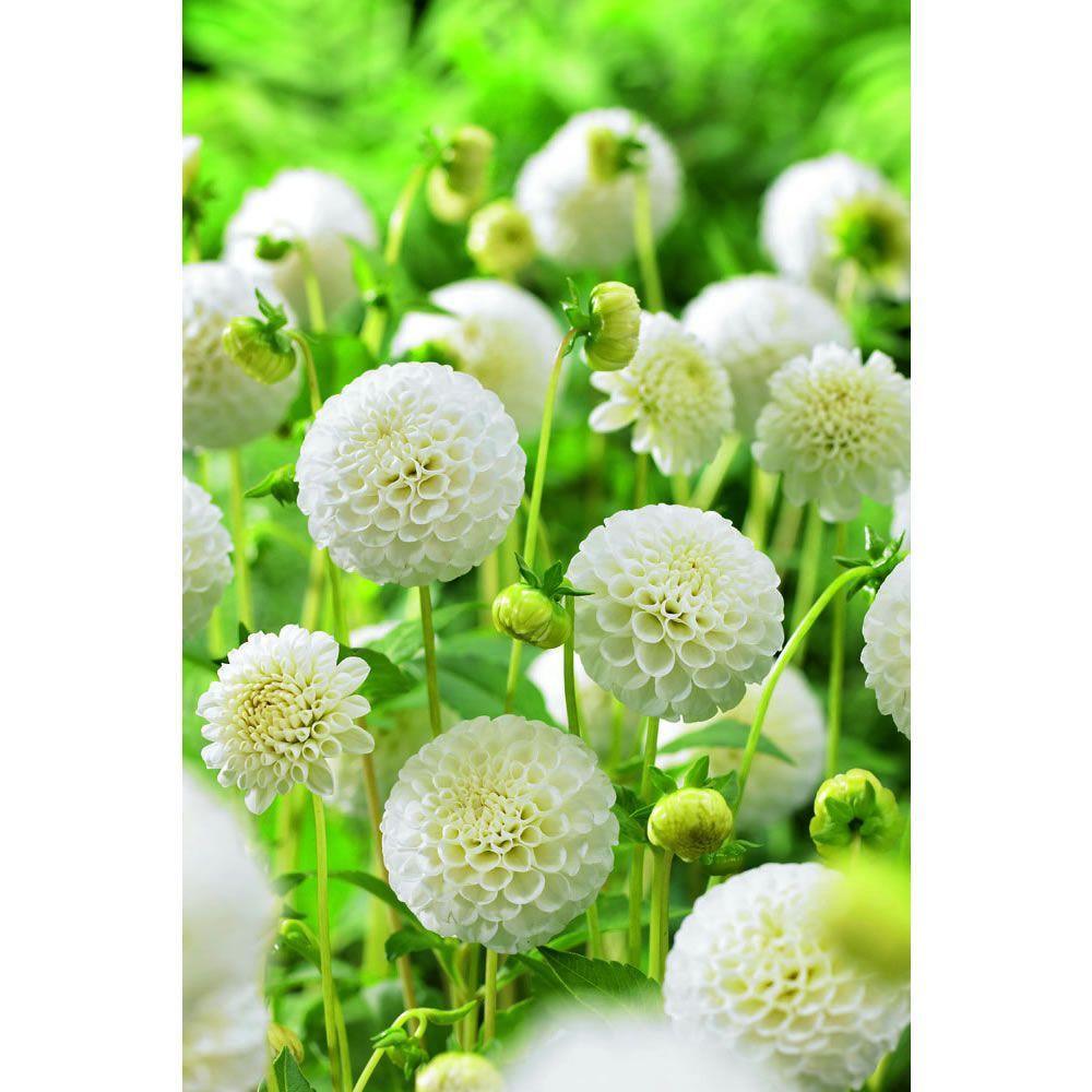 dahlia pompom snowflake flowers plants dahlia. Black Bedroom Furniture Sets. Home Design Ideas