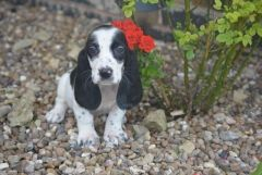 Adorable Bassacock Boy Puppies For Sale Basset Hound Puppies For Sale Puppies For Sale In Uk England Scotland Wal Puppies For Sale Hound Puppies Puppies