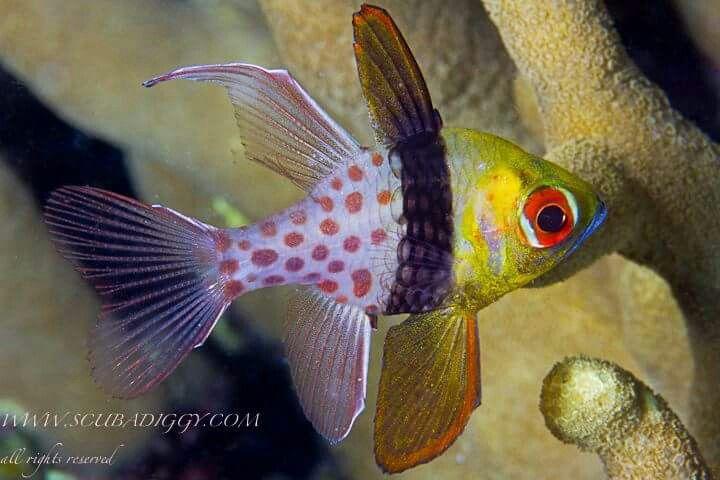 Pyjama Cardinal Fish Acquario