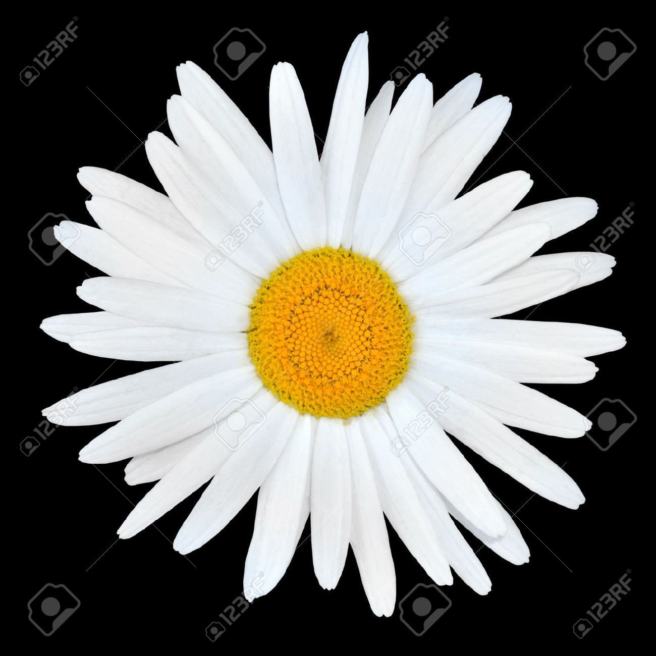 10017595 White Chamomile Daisy Flower With Yellow Center Isolated On