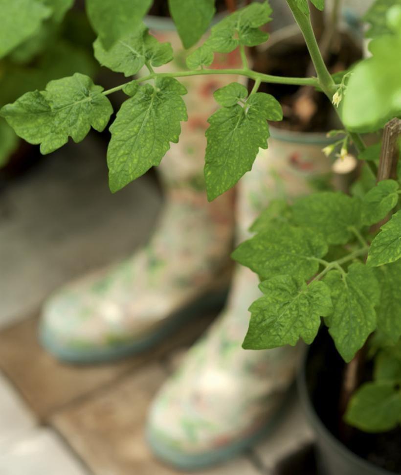 Kaikille tomaatintaimille löytyi kasvihuoneesta paikka, vaikkapa vanhoista kumisaappaista.