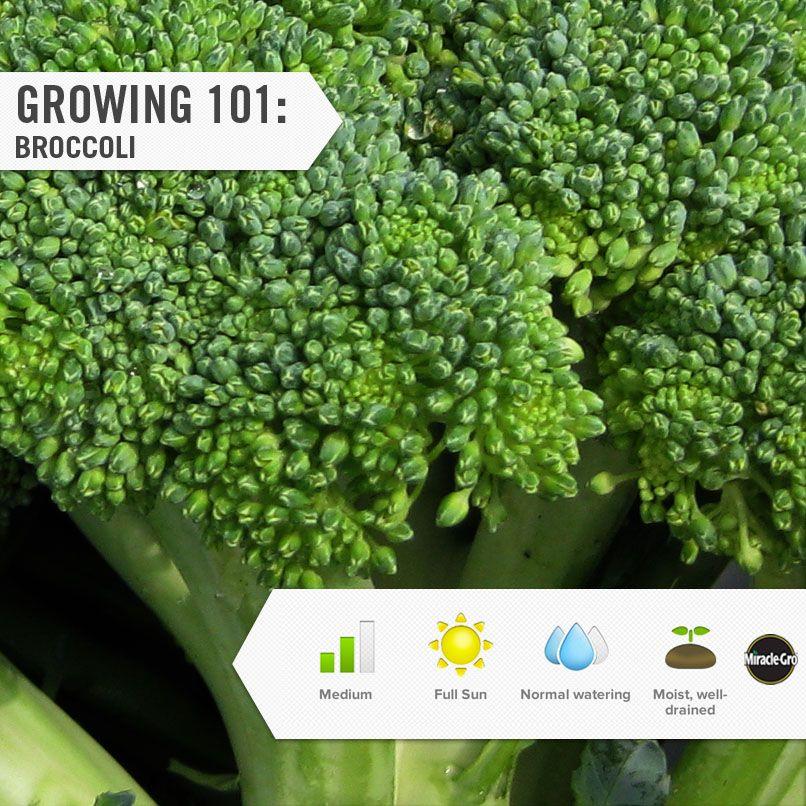 Learn how to grow broccoli in your vegetable garden #Gardening #DIY