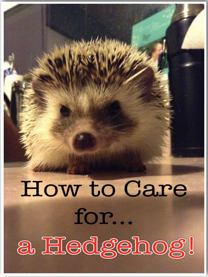 How To Care For A Pet Hedgehog Hedgehog Pet Hedgehog Hedgehog Care