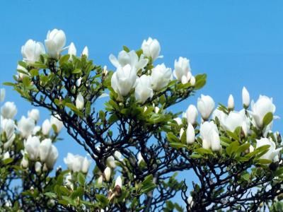 How To Care For Young Magnolia Trees In Florida Plant Growth