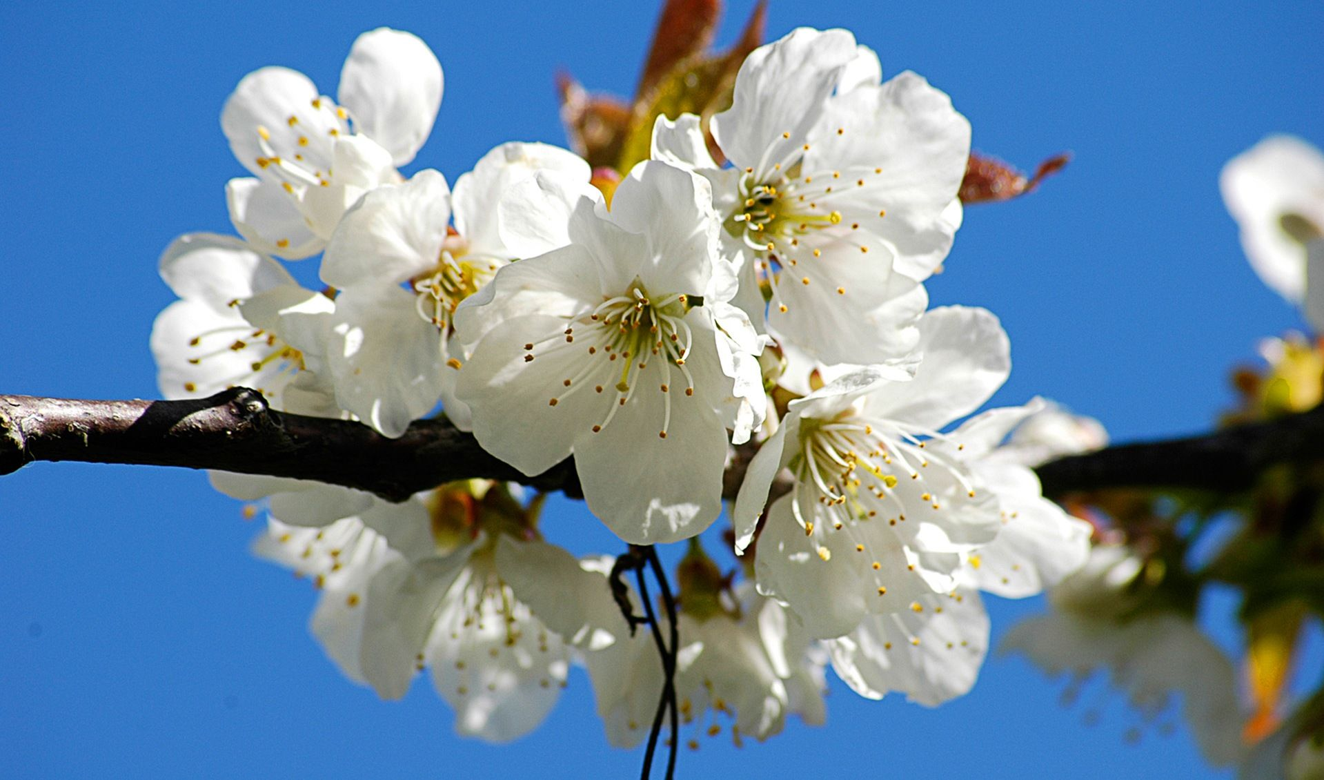 Florakart Plant Nursery Buy Plants Online In India White Cherry Blossom Bloom Flowers