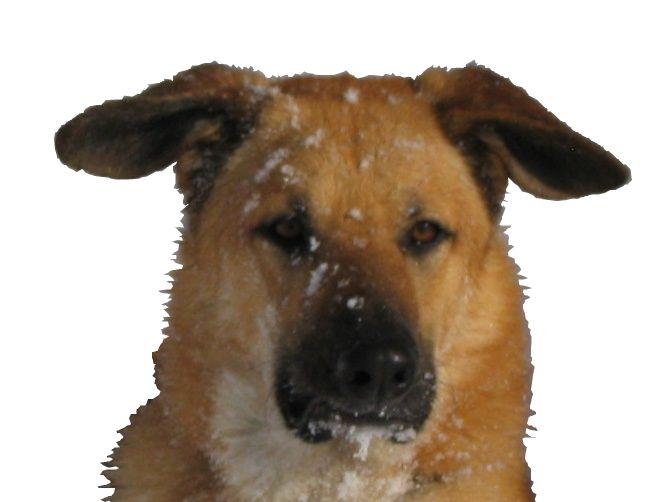Chinnock Dog Photo Cca Chinook Dog Breeders Chinook Club Of