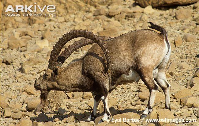 الحيوانات المنقرضه منتدى و منتديات مركزي Ibex Nubian Animals