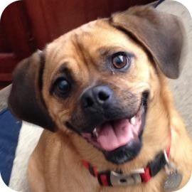 Ithaca Ny Pug Beagle Mix Meet Max A Dog For Adoption Beagle