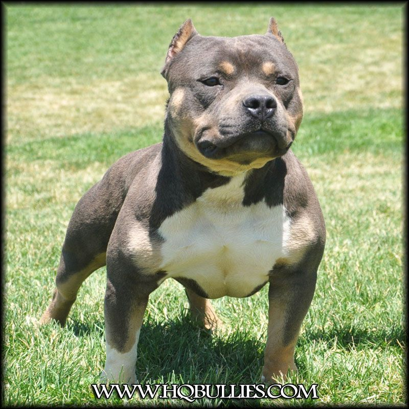 What A Cutie Hq Bullies Eternal Doom Male Tri Color Pitbull