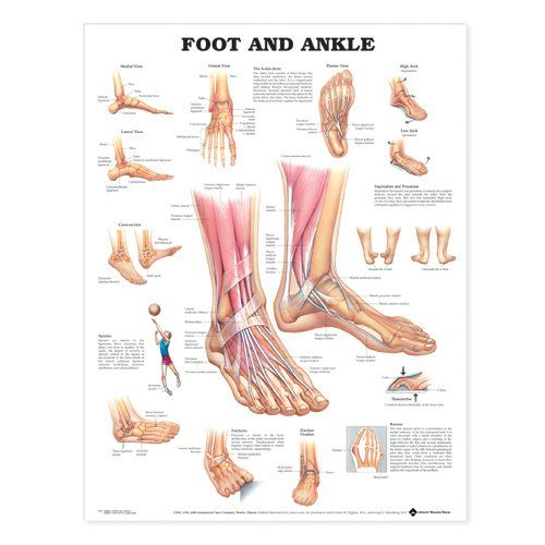 Foot and Ankle Anatomical Chart by Anatomical Chart Company http://www.amazon.com/dp/1587791382/ref=cm_sw_r_pi_dp_bMQAub0JV73QH