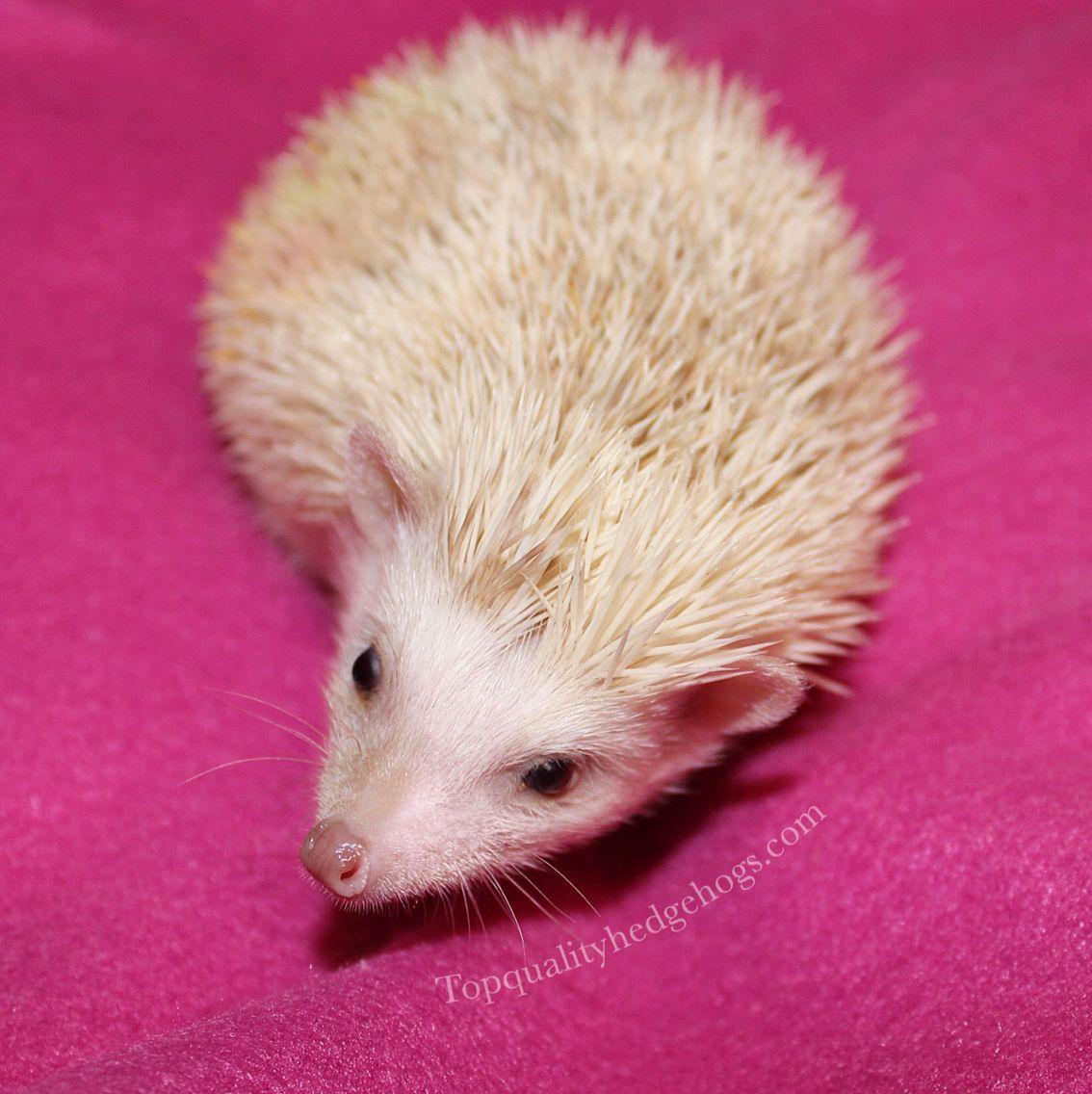 Firework, a Top Quality Hedgehog.