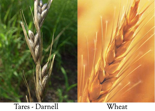 Wheat And Tares Google Search Pictures Pinterest Sunday