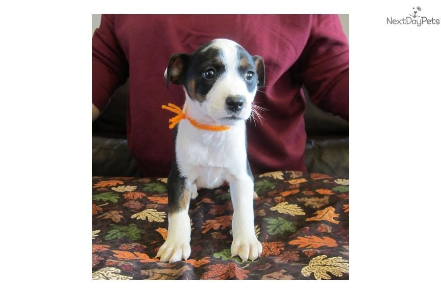 Meet 10/04 pups a cute Mountain Feist puppy for sale for $300
