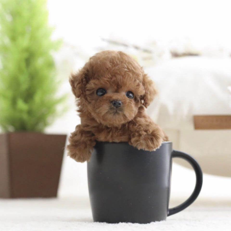 Winnie Red Poodle For Sale Micro Poodle Tea Cup Poodle Poodle