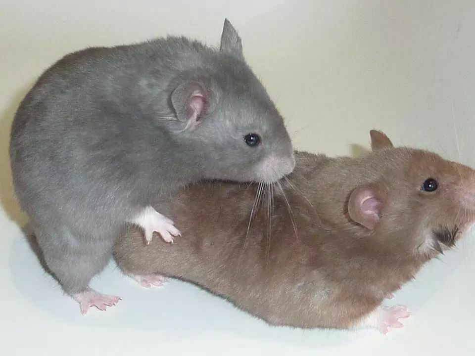 Blue sh, lavendel sh Syrian hamster, Small pets, Animals
