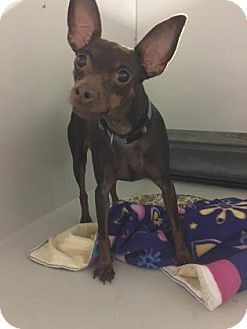 Kansas City Mo Miniature Pinscher Chihuahua Mix Meet Dreamboat