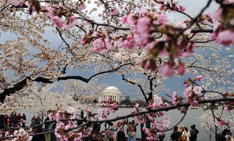 cherry blossom tree japan