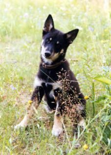 Lapinporokoira Finnish Reindeer Herder Present Your Dog In Our Photo Album Dog Photos Dogs Dog Pictures