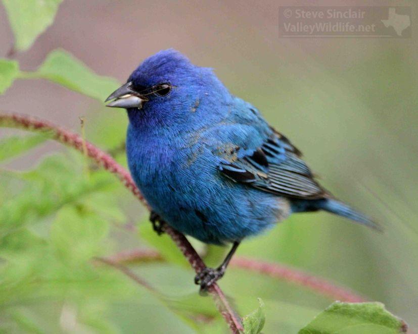 Indigo Bunting 2 | ValleyWildlife.Net | Bunting bird ...