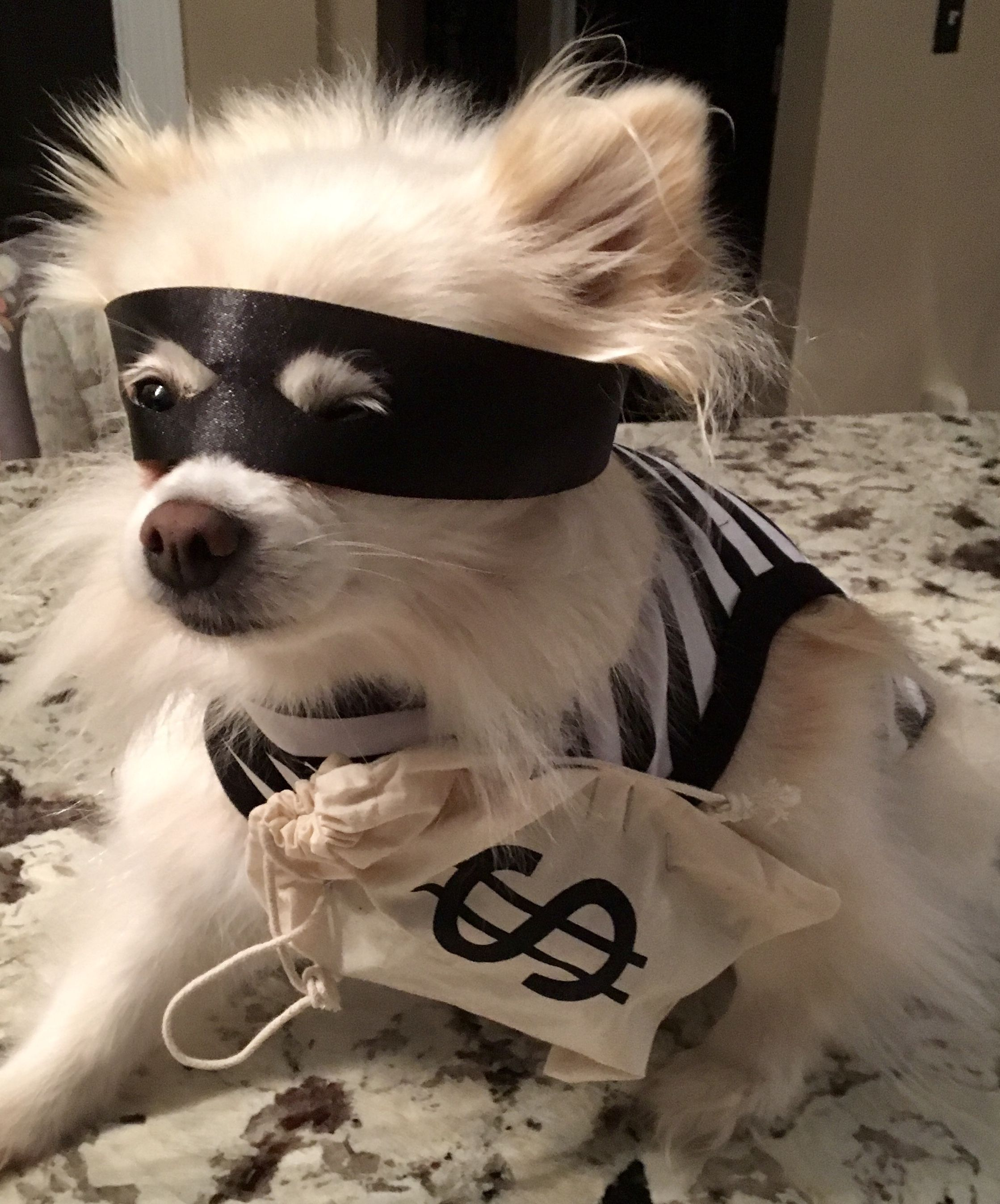 98305ec2204 Dog Halloween costume diy original robber with money and mask ...