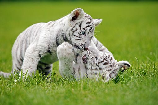 white tiger cubs playing | cute | Pinterest | Tiger cub ...
