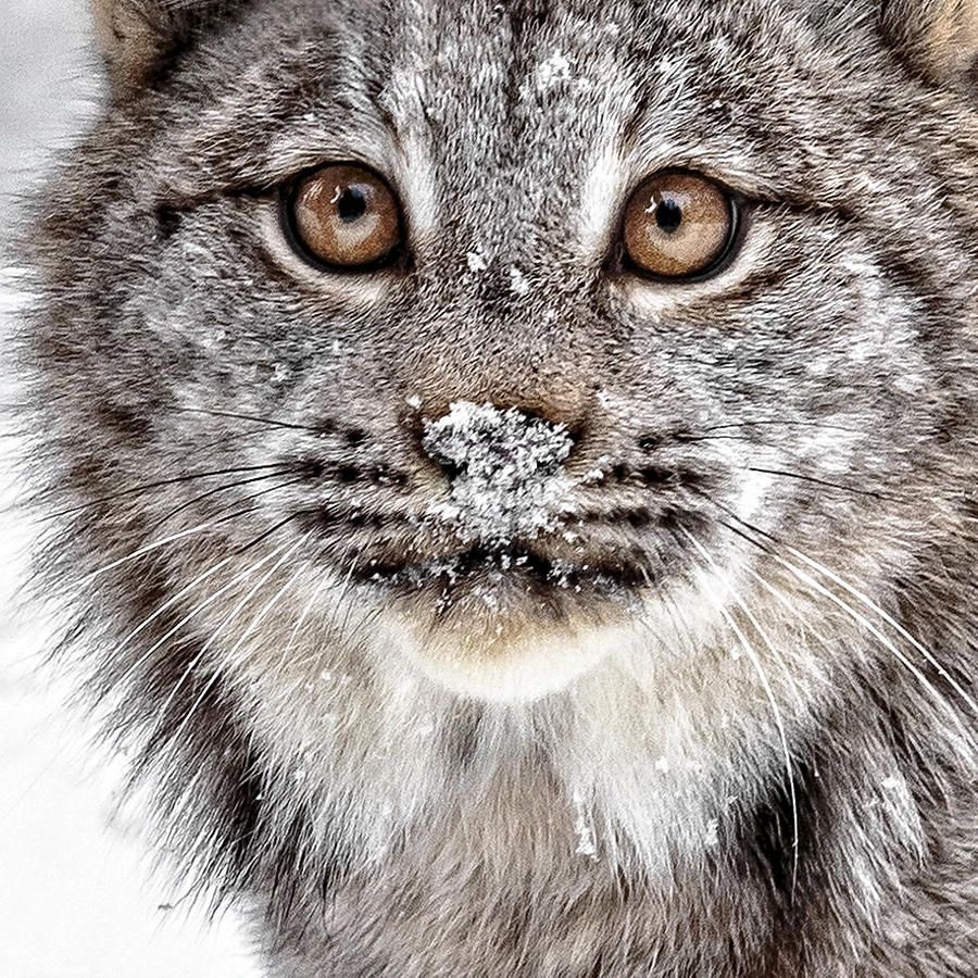 No Mouse This Time by Wes and Dotty Weber The Canada lynx