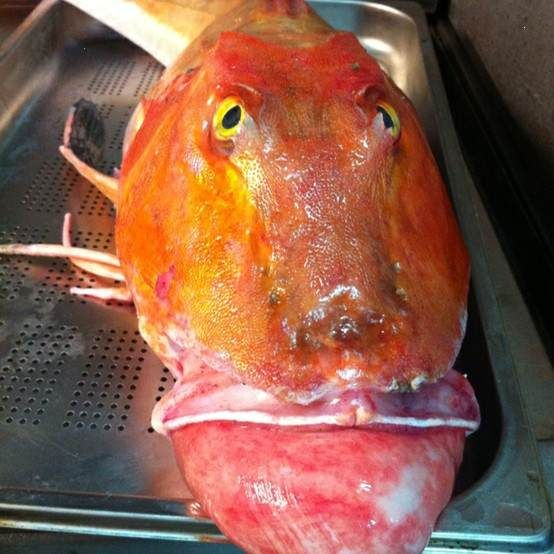 Ugly fish ugly fish pinterest creatures for Ugly fish pictures