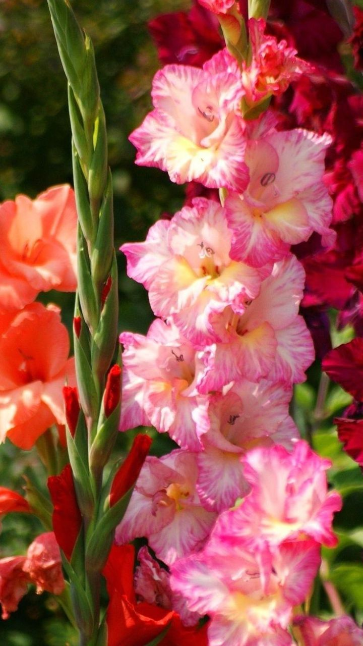Download Wallpaper 720x1280 Gladiolus Flowers Bright Flowerbed Light Samsung Galaxy S3 Hd Background Canteiro De Flores Flores Canteiros