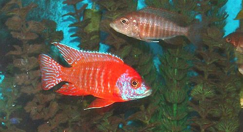 Aulonocara Sp Ruby Red