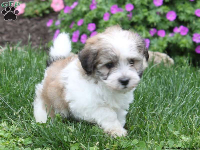 havanese puppies for sale - photo #2