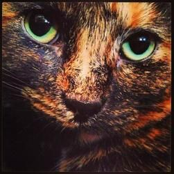 Amelia Is An Adoptable Tortoiseshell Cat In Saint Paul Mn A Wonderful Cat Amelia Is A 4 Year Old Declawed Tortie Cat Unfortunately Her People Can No Gatos