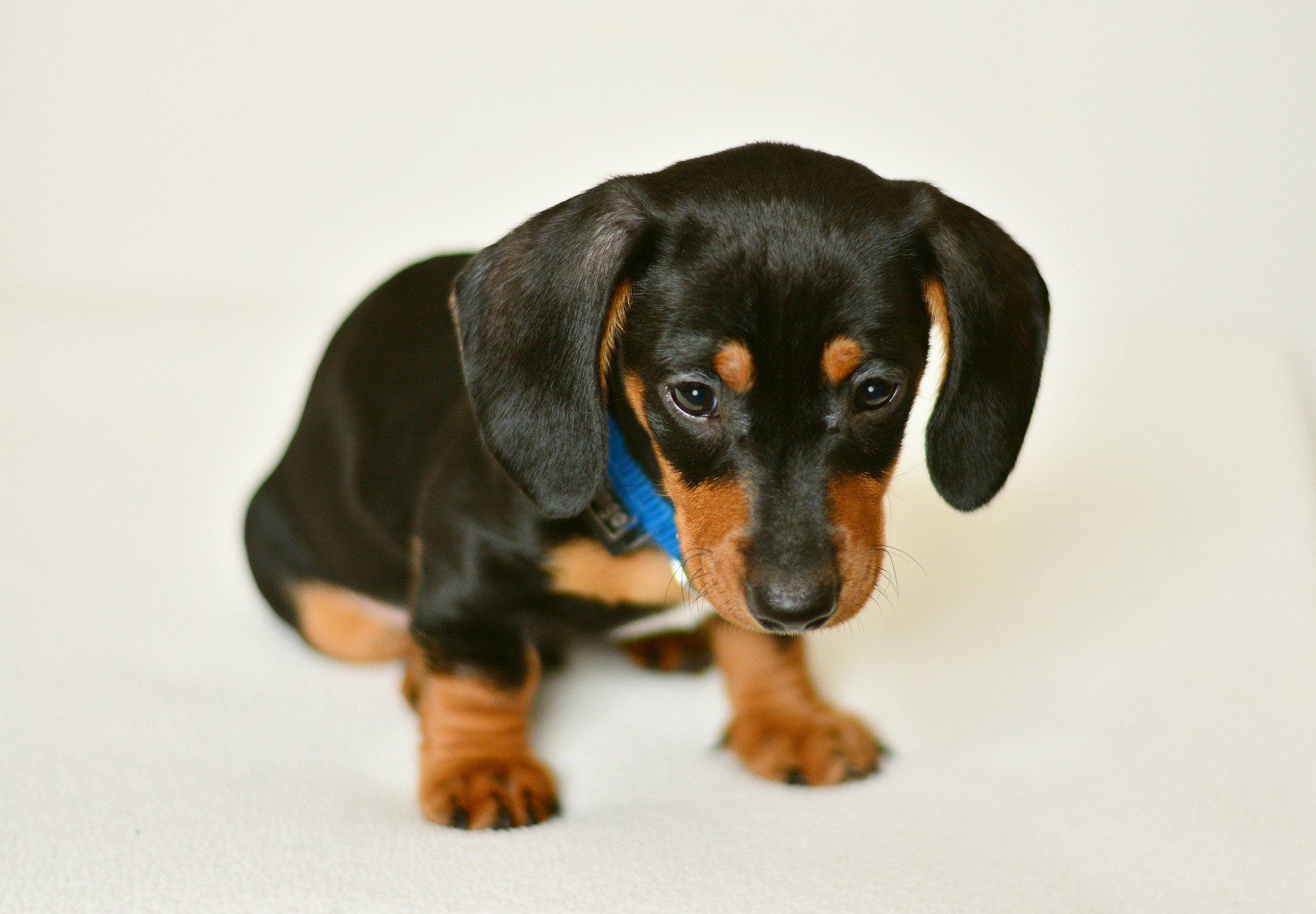 Dachshund Puppies Everything You Need To Know Puppies