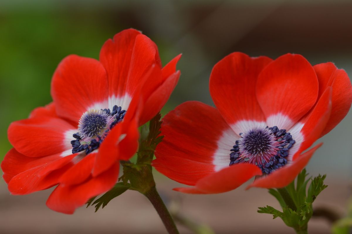 Anemone my gallery of photos of this beautiful flower photo my gallery of photos of this beautiful flower photo daniela serra all rights reserved izmirmasajfo