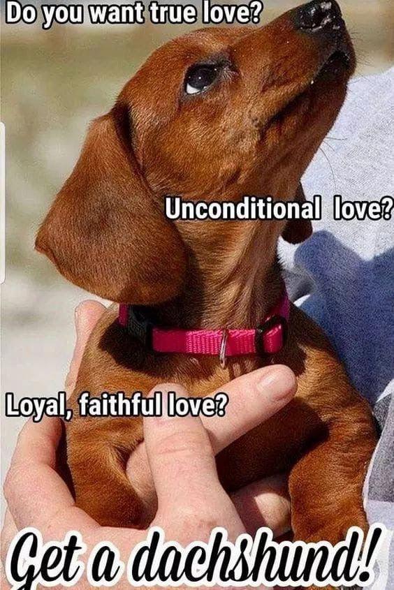 Find Out More On The Friendly Daschund Dogs And Kids Daschundsofinstagram Daschundchristmas Daschundred Dachshund Memes Funny Dachshund Daschund Dog