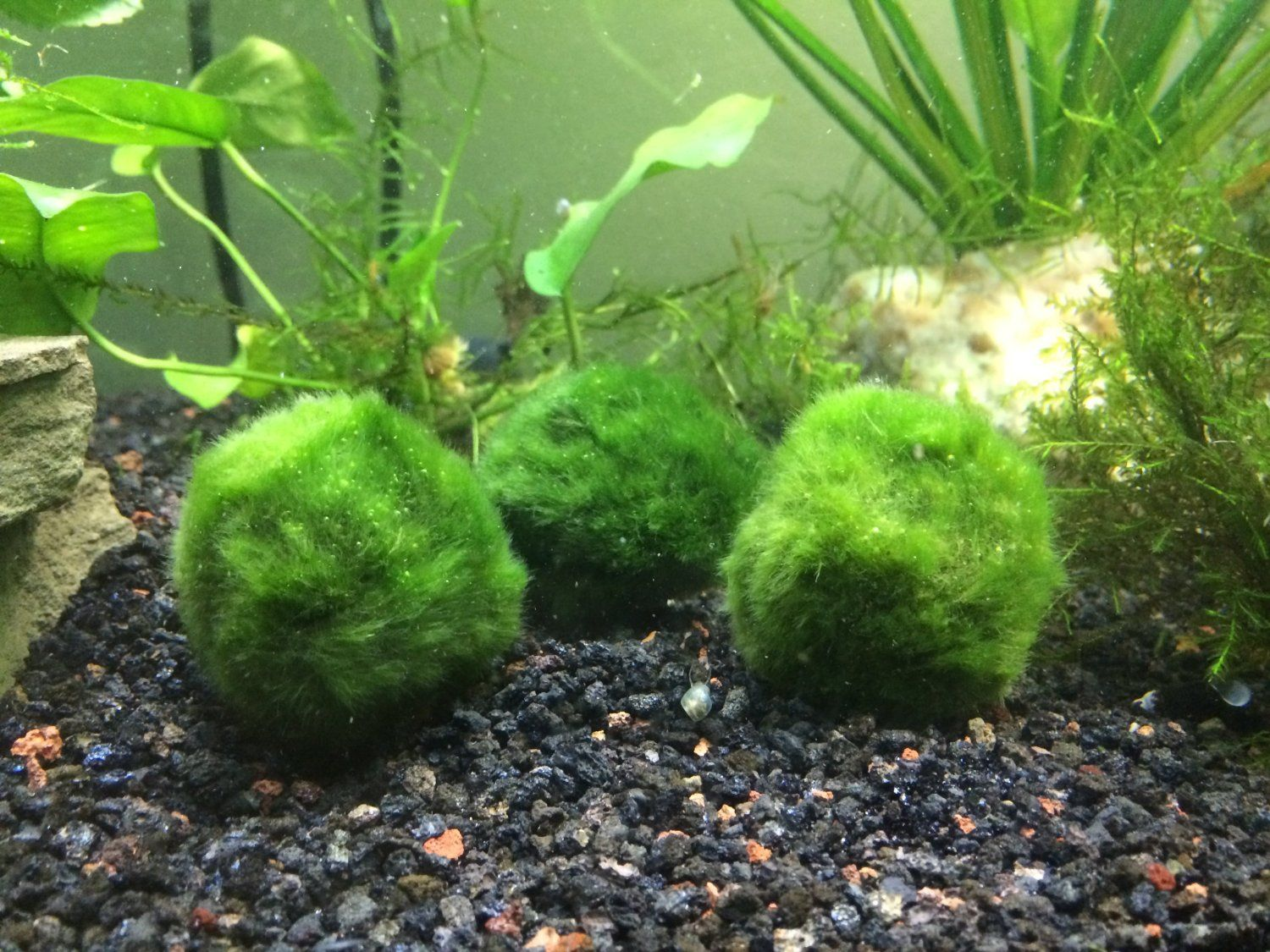 Fish aquarium take care - Fish Giant Marimo Moss Balls From Japan Are Growing In Water Easy To Take Care