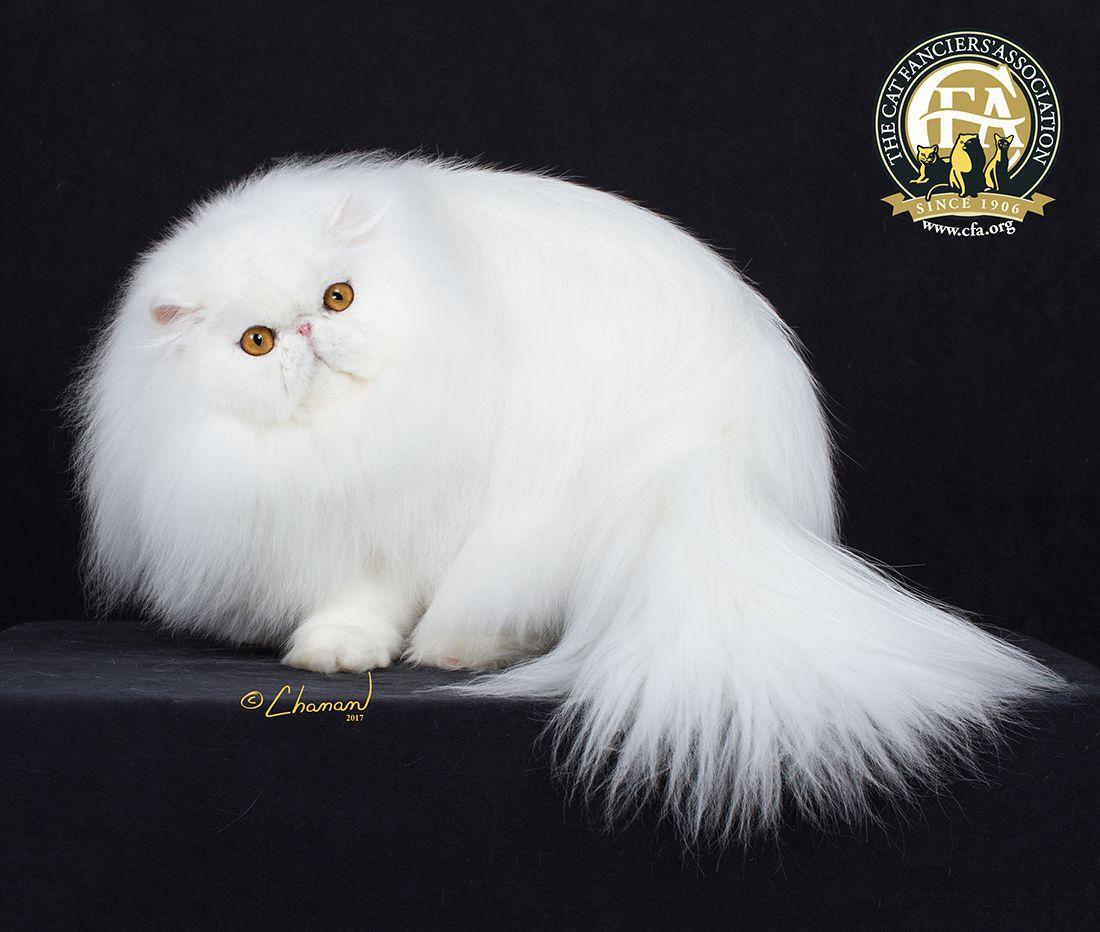 Best Cat In Premiership Regions 1 9 Gp Nw Cinema S Liberace Of