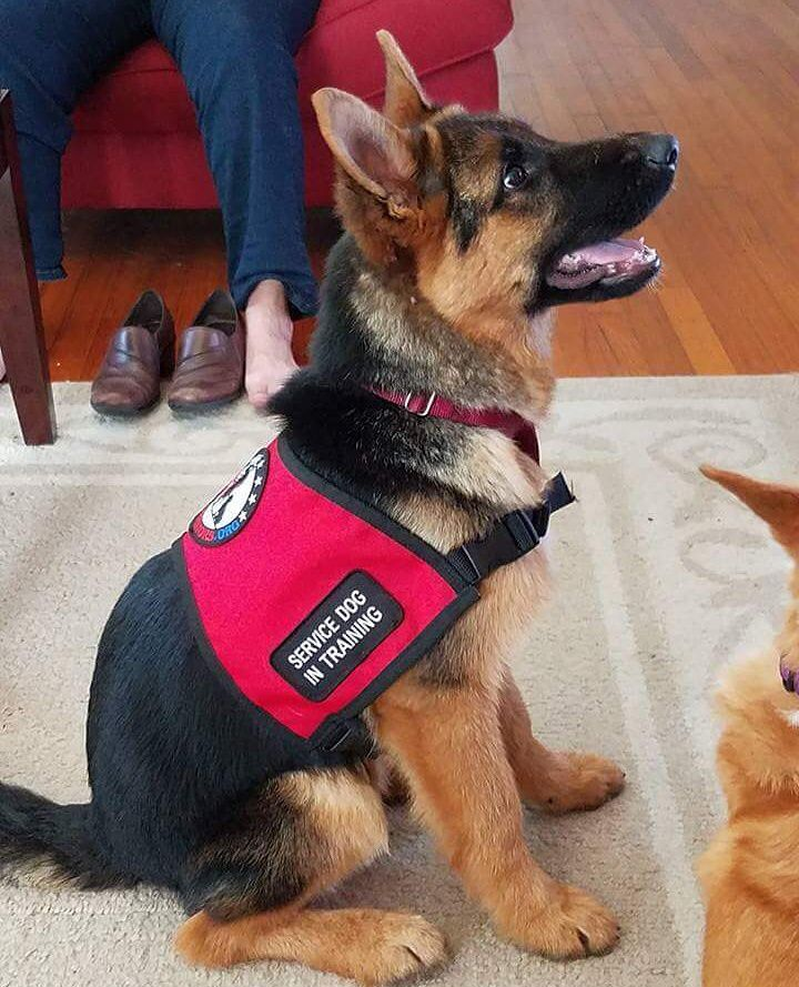 Sweet Little Service Dog In Training Service Dog Vests Service