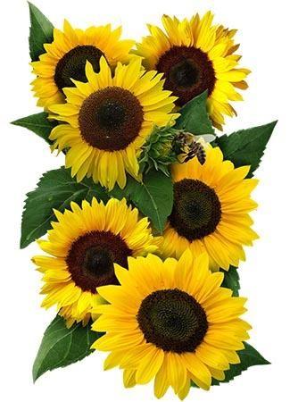 Dwarf Sunspot Sunflower Seeds Helianthus Annuus Sunflower Flower Sunflower Art Planting Sunflower Seeds